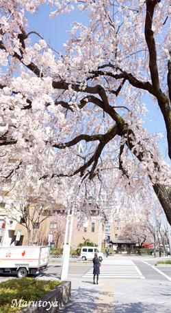 今年の垂れ桜