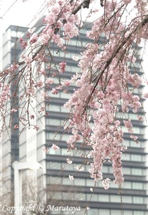 街角枝垂れ桜