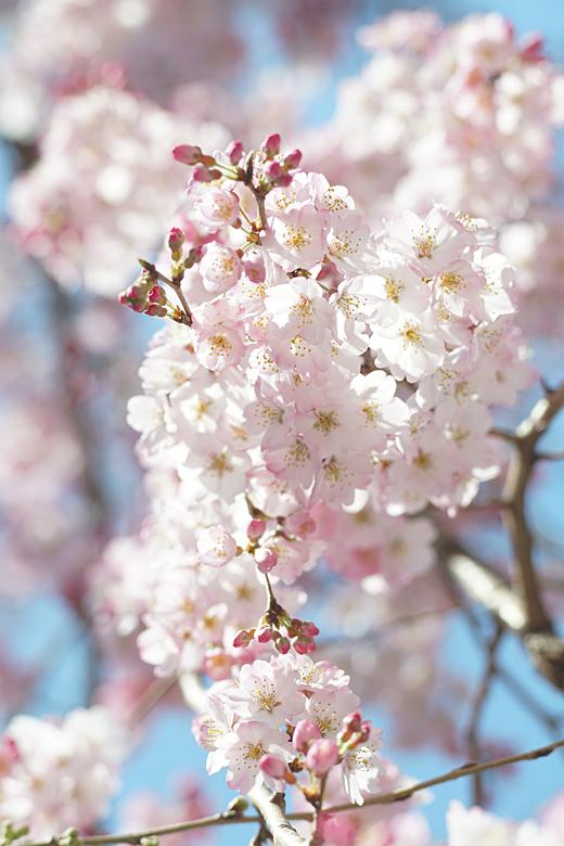 街角の枝垂れ桜